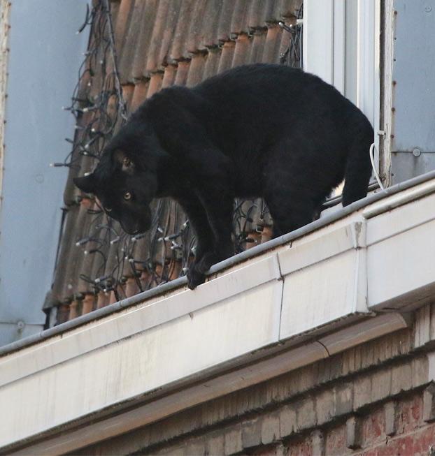 Una pantera se pasea a sus anchas por el tejado de un edificio en Francia