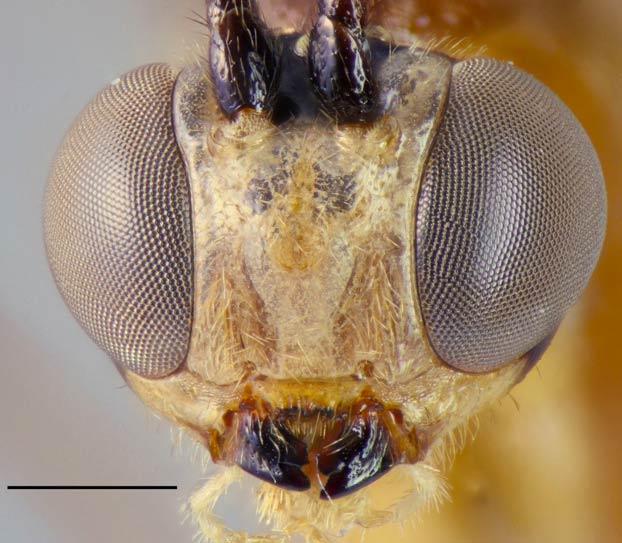 Un científico descubre una especie de avispa parásita y la bautiza con el nombre de su mujer