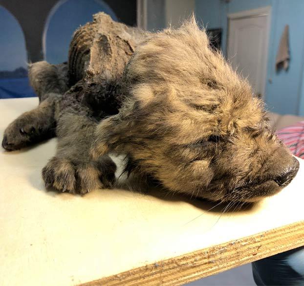 Encuentran intacto un cachorro de una especie desconocida que murió hace 18.000 años