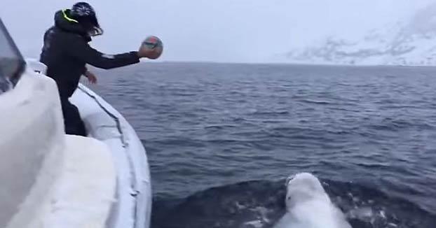 Una ballena beluga juega con un hombre a traer una pelota de rugby en mitad del mar