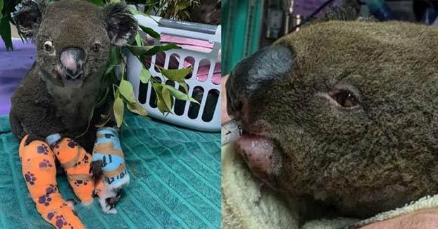 Ha muerto Lewis, el koala que rescató una mujer de las llamas durante un incendio forestal en Australia
