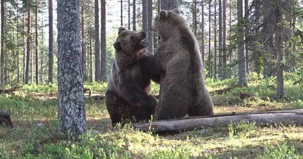 Un fotógrafo capta una pelea entre dos osos pardos en un bosque de Finlandia