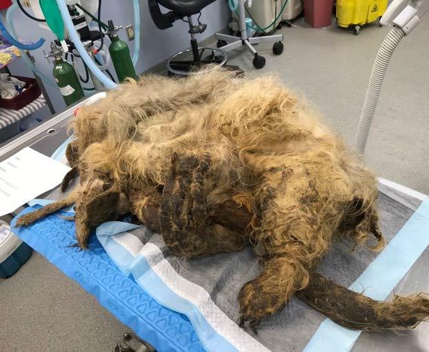 15 centímetros de uñas y 4 kilos de pelo: Así fue la transformación de un perro abandonado