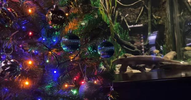 ¿Puede una anguila eléctrica encender las luces de un árbol de Navidad?