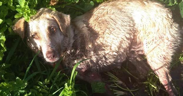 Muere la perra maltratada por un cazador en Chantada, Lugo