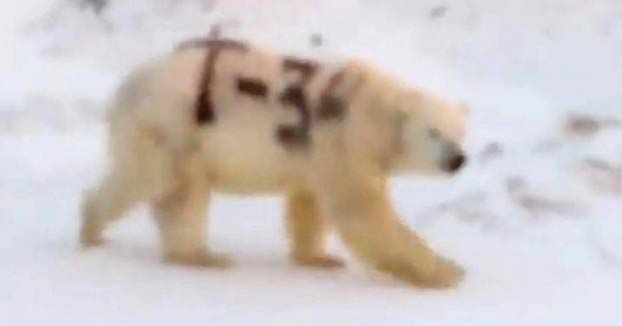 Encuentran a un oso polar con un graffiti en el costado con el nombre de un tanque ruso