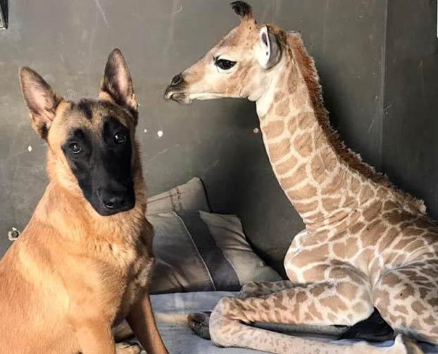 Amigos inseparables: Un perro cuida de una jirafa abandonada por su madre