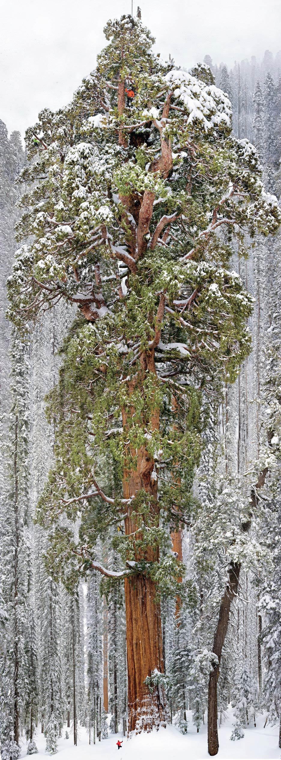 El Presidente: el segundo árbol más alto del mundo en una imagen