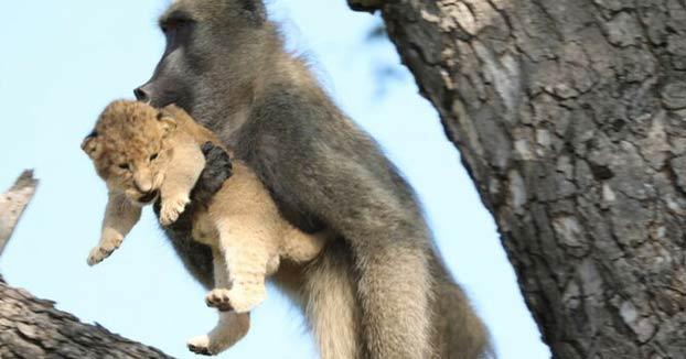 Un babuino roba y cuida a un cachorro de león en un árbol