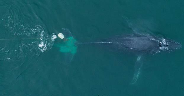 Rescatan a una ballena que se había quedado atrapada en una red ilegal de pesca