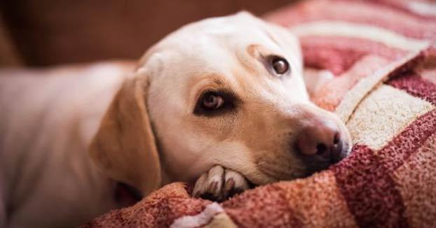 El coronavirus de los perros existe, pero sus síntomas son totalmente diferentes