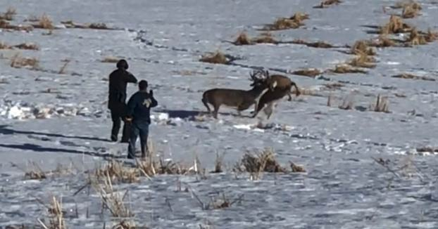 Un guardabosques realiza un disparo certero para liberar a dos ciervos enganchados por sus cornamentas