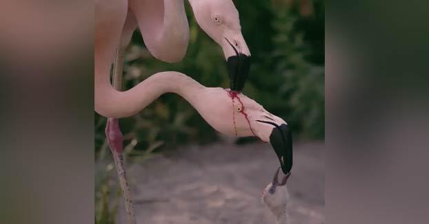 No se están peleando: Los flamencos producen leche de cultivo de color rojo en su tracto digestivo y la regurgitan para alimentar a las crías