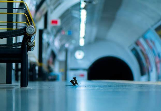 El fotógrafo Sam Rowley estuvo cinco noches apostado en el suelo del metro de Londres para hacer esta maravilla de foto a unos ratones