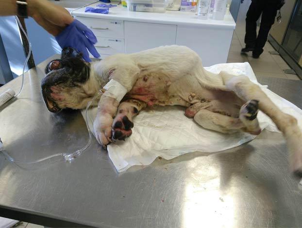 Encuentran en Madrid a un bulldog francés totalmente desnutrido que fue robado hace 12 años