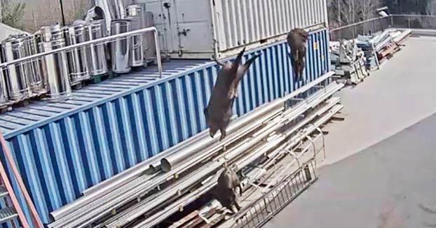 Momento en el que un grupo de jabalíes salta desde una azotea de una fábrica en Girona