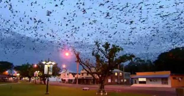 Invasión de murciélagos en Queensland
