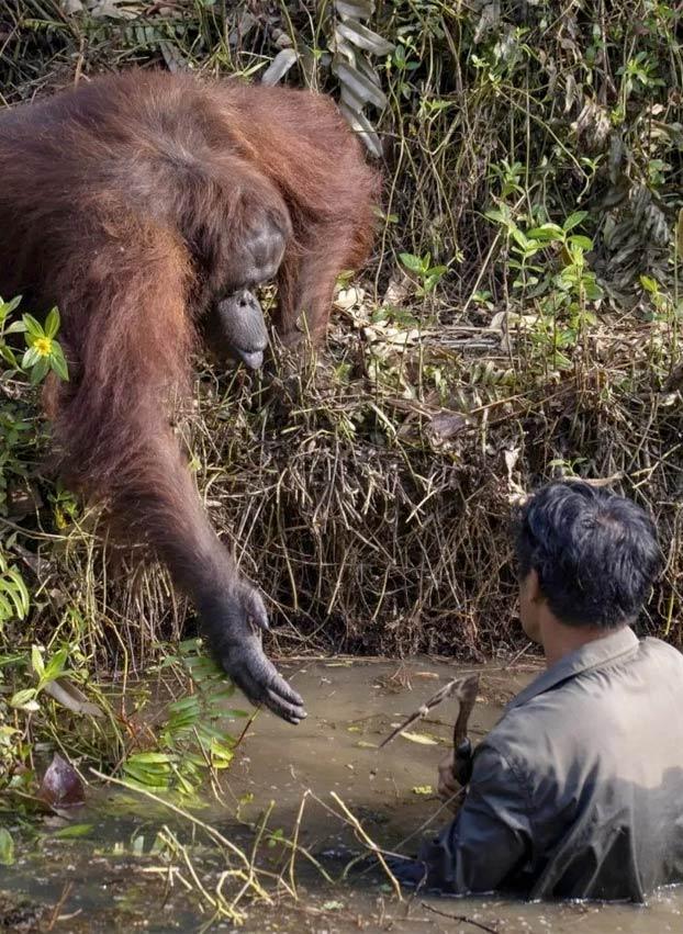 Un hombre limpiaba el río de serpientes y un orangután se acercó a tenderle una mano pensando que estaba en apuros