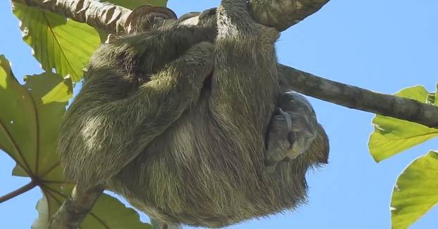 Una osa perezosa dando a luz en un árbol