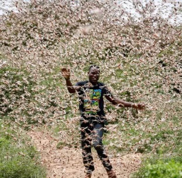 Así de grave es la situación por la plaga de langostas en África Oriental