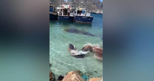 Una foca ataca a un cachalote enano en el puerto de Hout Bay, Ciudad del Cabo, Sudáfrica