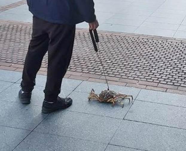 Un hombre pasea a un centollo por la Gran Vía de Bilbao