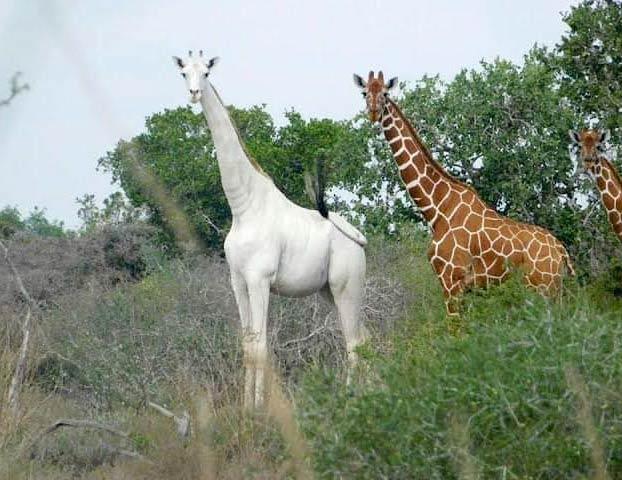 Cazadores furtivos matan a la última jirafa blanca hembra del mundo y a su cría en una reserva de Kenia