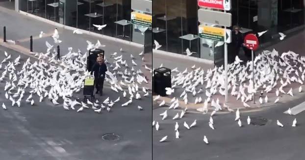 Un centenar de palomas hambrientas persiguen a una mujer en Benidorm buscando comida ante la ausencia de personas en la calle