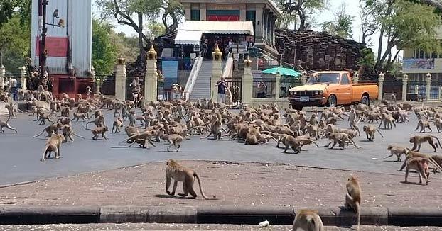 Cientos de monos hambrientos de 'pandillas rivales' se pelean por comida en una calle de Tailandia después de que los turistas que los alimentan se mantengan alejados por el Coronavirus