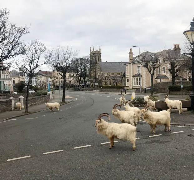 Cabras montesas ocupan una localidad galesa debido a la cuarentena de sus habitantes