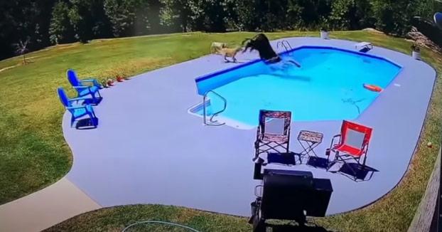 Dos perros persiguen a una vaca que acaba cayendo en una piscina y luego llega un cowboy con un lazo