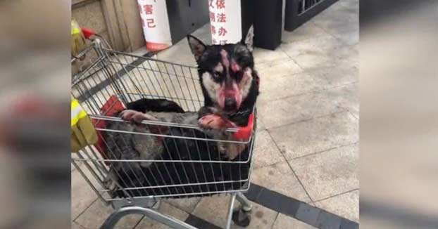 Un hombre abandona a su perro husky mazado a golpes dentro de un ascensor