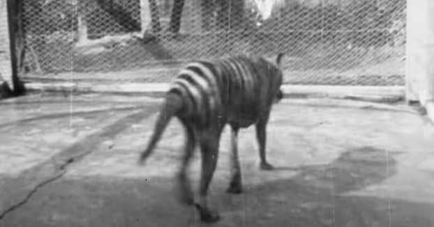 Redescubierta imágenes del extinto tigre de Tasmania en un viejo filme