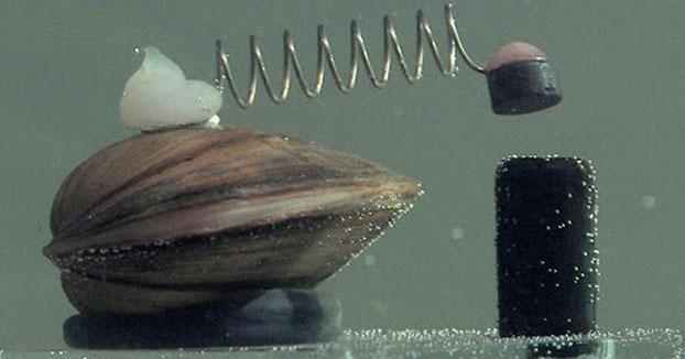 En Polonia utilizan almejas en los depósitos de agua que pulsan un botón cuando detectan contaminación