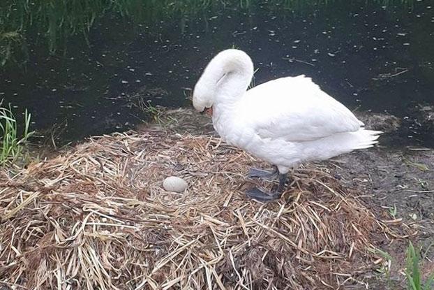 Un cisne muere de pena después de que unos adolescentes destrozaran sus huevos con ladrillos