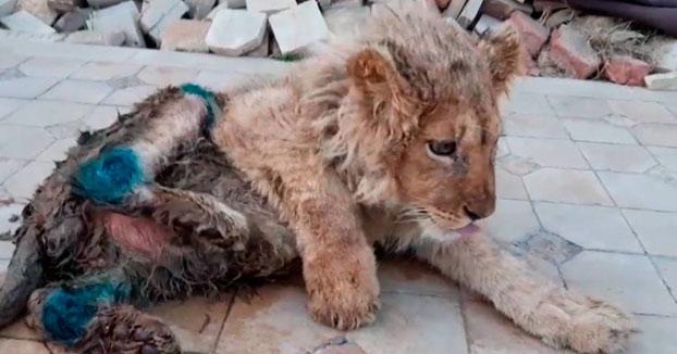 Rescatan a Simba, un león al que partieron las patas para fotografiarse con turistas