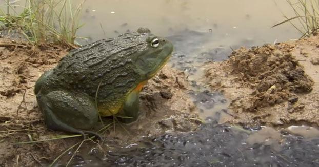 La rana toro, la rana más grande y agresiva de África, cava un canal para que sus renacuajos no se sequen