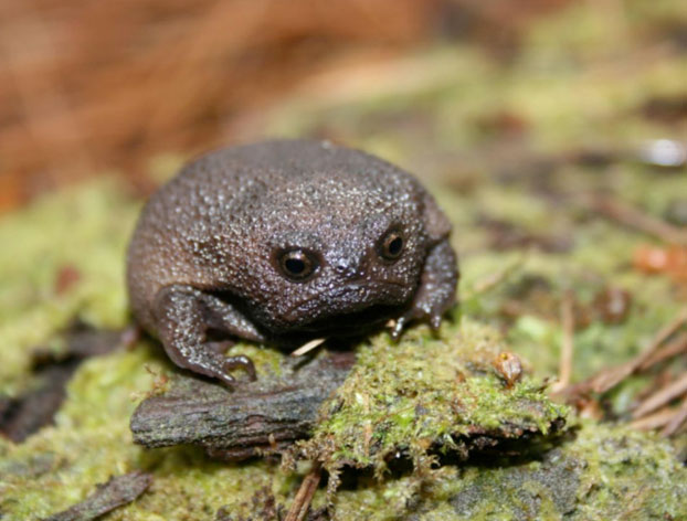 Estas ranas pequeñas y adorables parecen aguacates enfadados