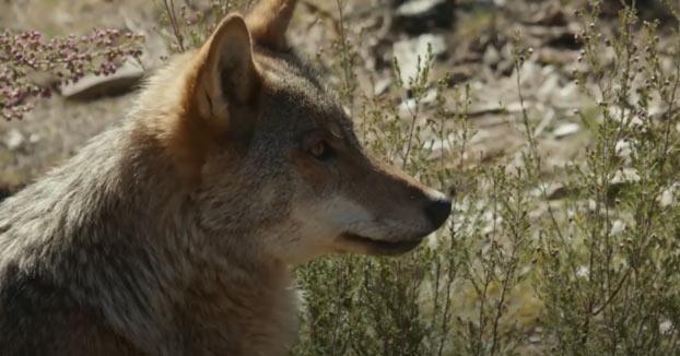 Frank Cuesta visita un santuario donde conviven 11 manadas de lobos