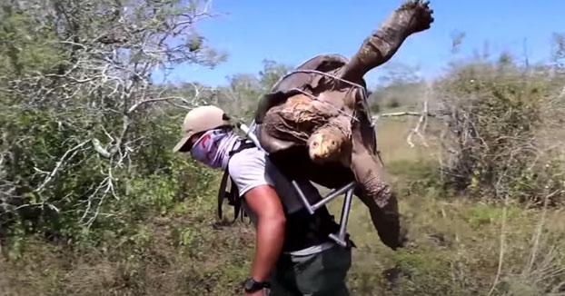 Diego, la tortuga inseminadora de Galápagos que ayudó a salvar su especie, vuelve a casa tras 87 años