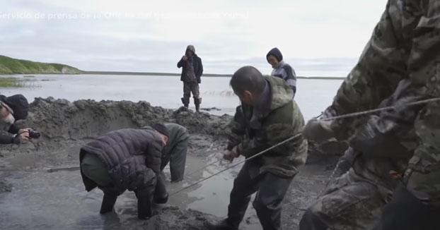 Descubren en Rusia el esqueleto casi completo de un mamut