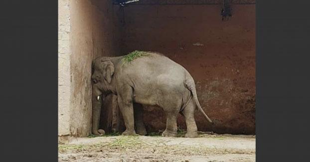 """Kaavan, conocido como """"el elefante deprimido"""", será liberado tras 35 años de cautiverio en un zoológico"""