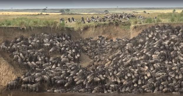 Cientos de ñus mueren en un solo día mientras cruzaban el río Mara en Kenia