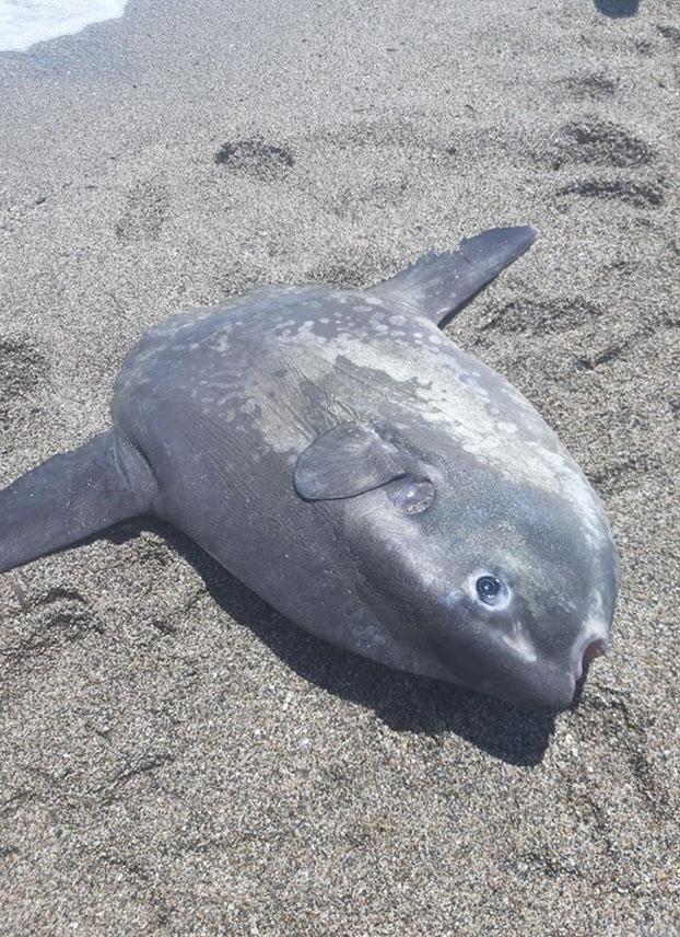 Muere un pez luna después de que un hombre lo sacara del mar en una playa de Roquetas de Mar y se sentara encima