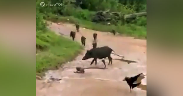 Una manada de jabalíes y cuervos colaboran para salvar a una cobra tras el ataque de una mangosta