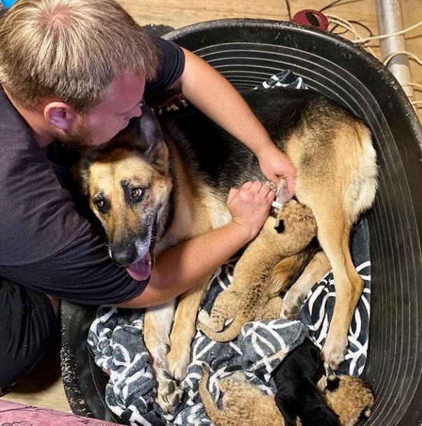Una perra adopta a dos cachorros de león rechazados por su madre