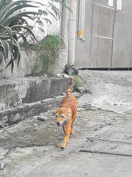 Pintan a un perro callejero para que parezca un tigre y una asociación ofrece una recompensa por encontrar al culpable