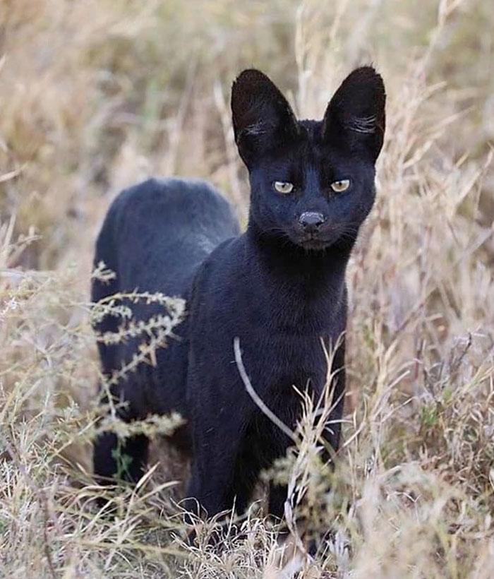 La 'pantera de Granada' podría ser en realidad un gato serval negro