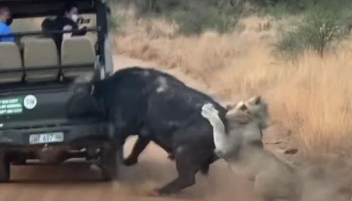 Un búfalo se estrella de cabeza contra un vehículo en su intento de escapar de una manada de leones