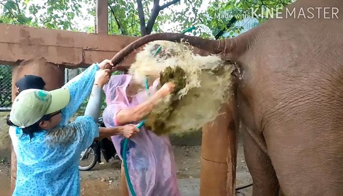Lana, una elefanta con estreñimiento: Esto es dedicación por tu trabajo y lo demás son tonterías